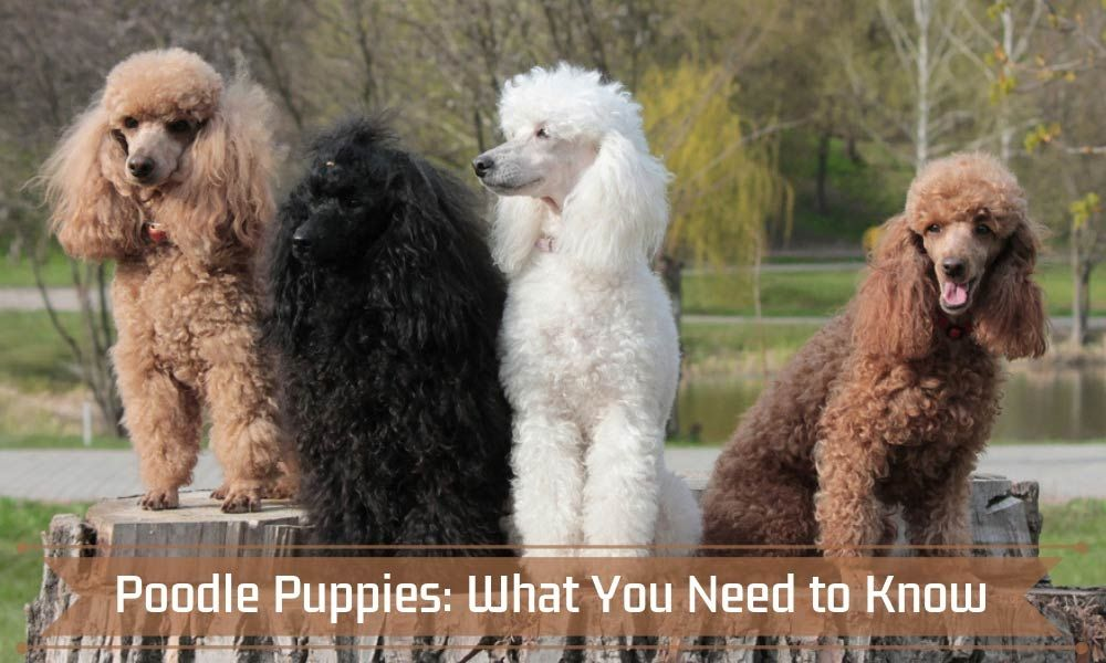 Poodle Puppies What You Need To Know Poodled Com Poodles Are