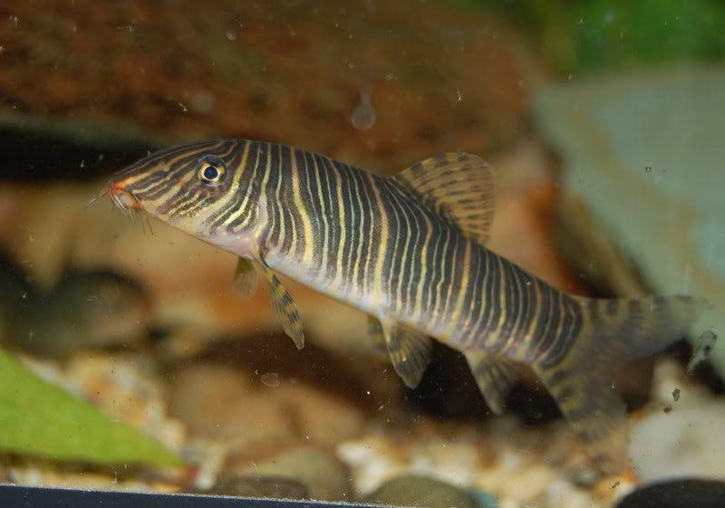 Botia Striata Kolhapurensis Zebra Loach Freshwater Aquarium Fish Tropical Fish Fish Pet