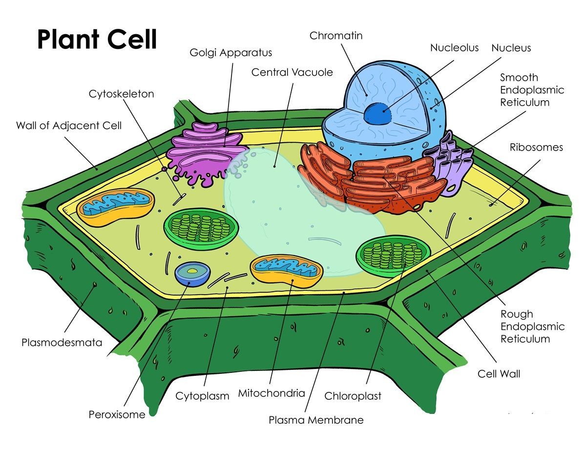 Printable Plant Cell Diagram Labeled Photos 3d From Textbook Animal