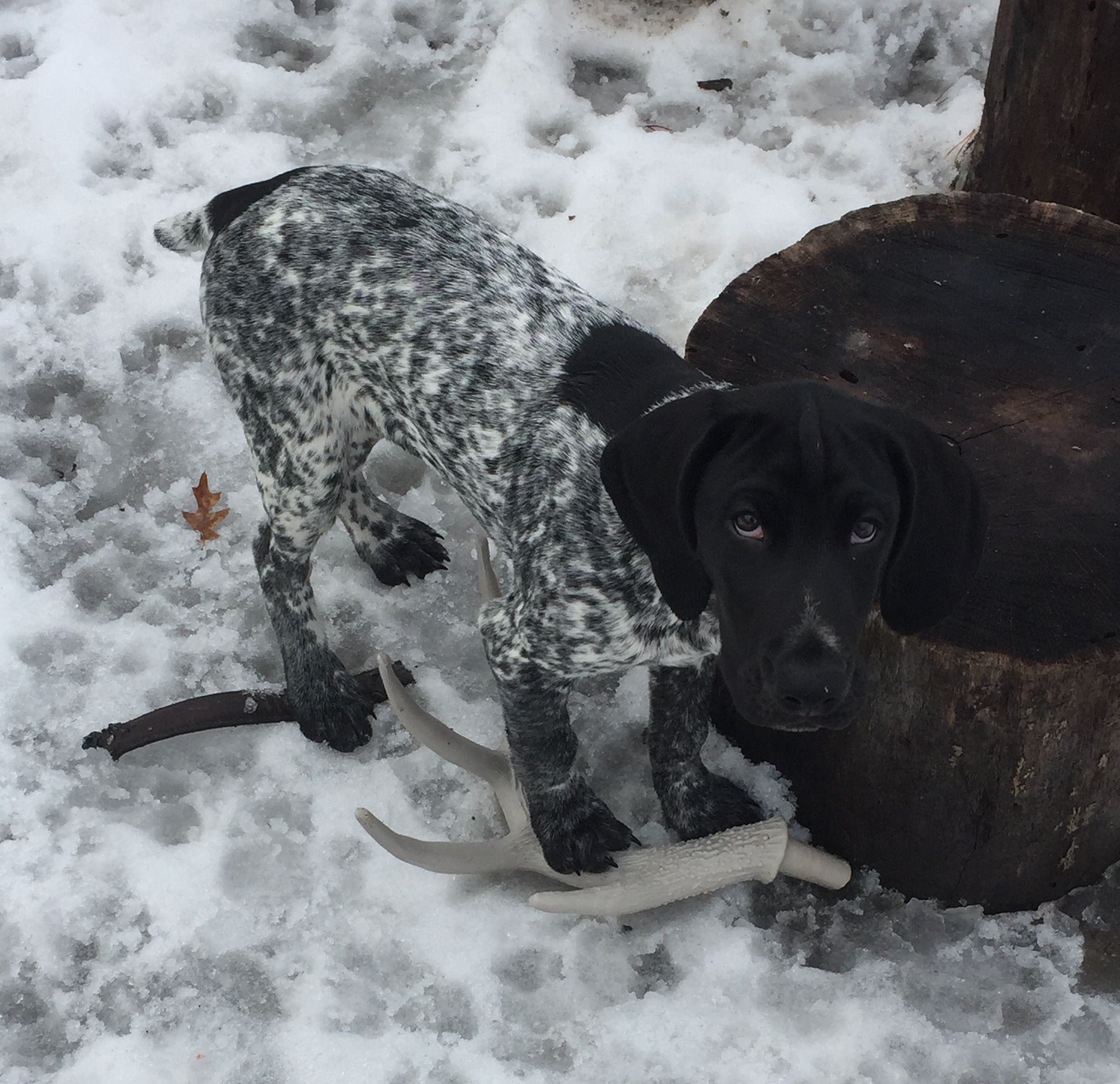 Cole german shorthaired pointer pup classic look
