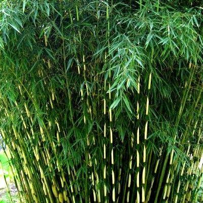 le bambou fargesia robusta pour des haies de bambous non envahissantes le fargesia robusta est. Black Bedroom Furniture Sets. Home Design Ideas