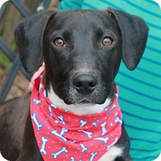 Dachshund/Labrador Retriever Mix Dog for adoption in