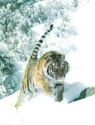 Image result for tigers in the snow images