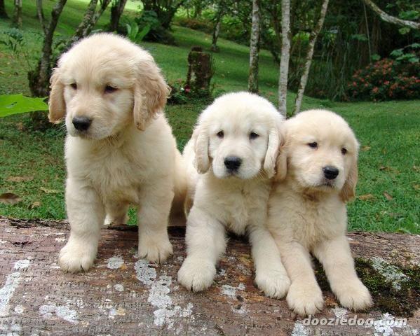 American Golden Retriever Puppies Jpg Retriever Puppy Dog