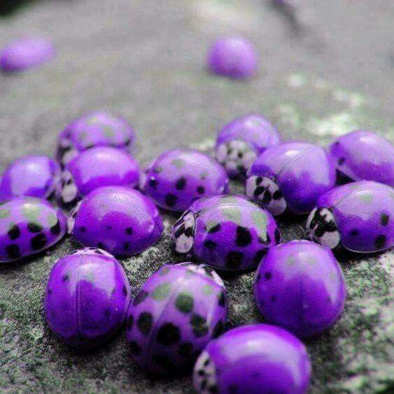 Purple ladybugs, found only in Hawaii. . .