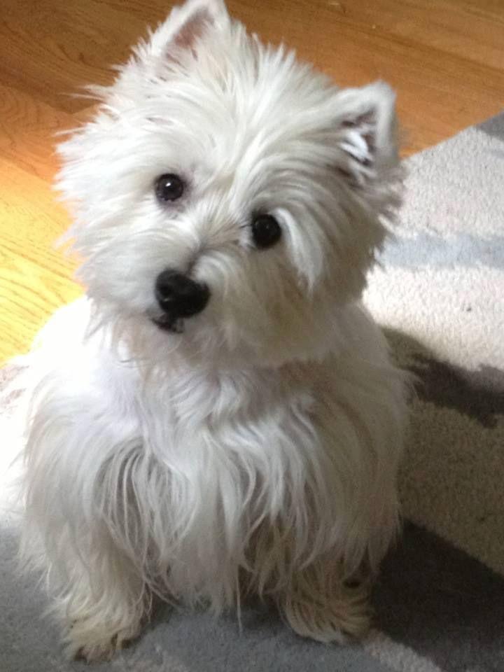 Beautiful And Cute York Terrier Dog: Westie....beautiful Girl.