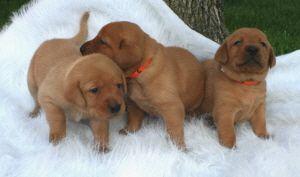 Labrador Retriever Puppies For Sale Minnesota Breeder Fox Red Ivory Black Yellow Chocolate Labrador Retriever Labrador Retriever Puppies Labrador