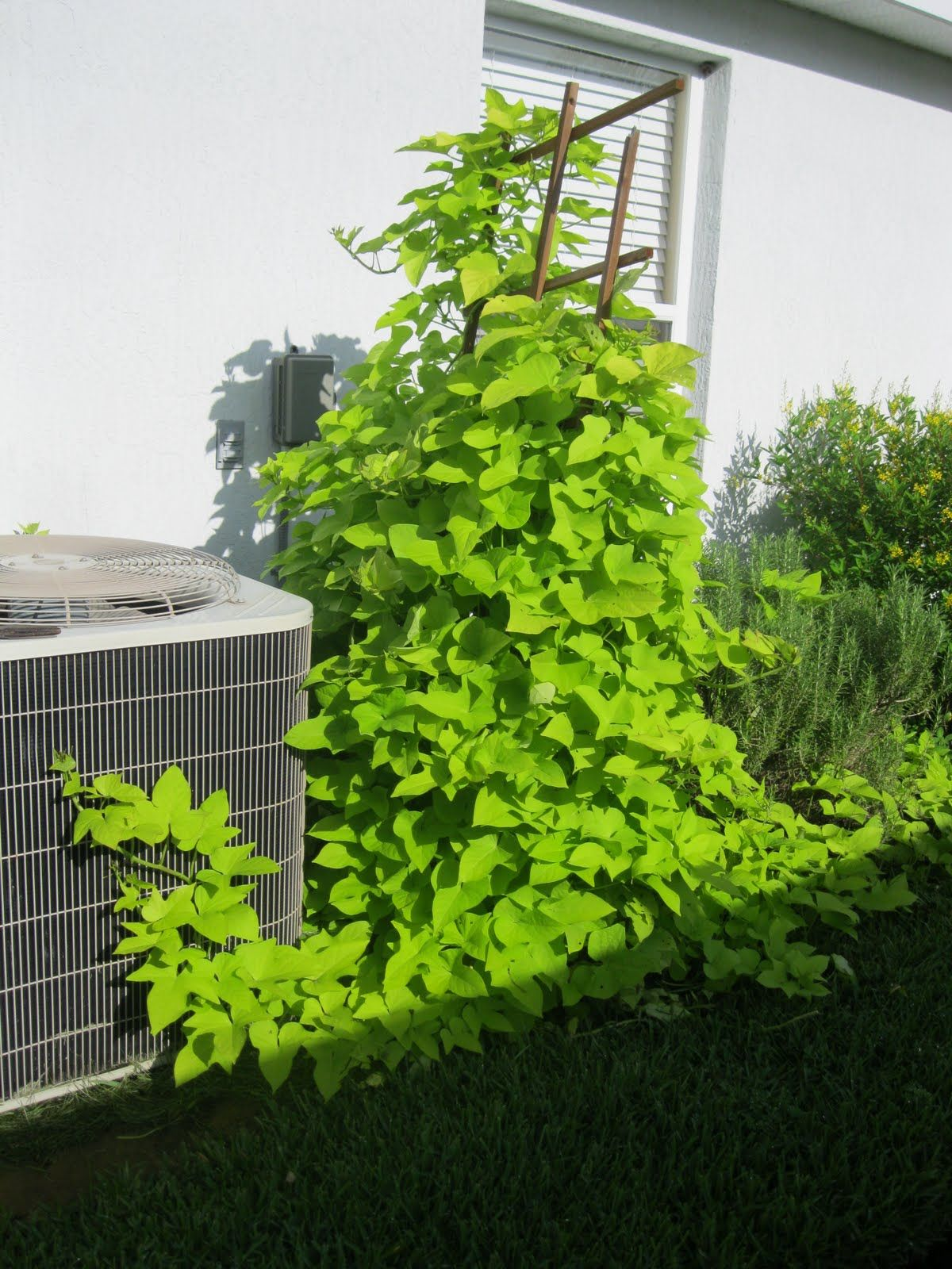 Low Trellis With Sweet Potato Vine To Cover Cement