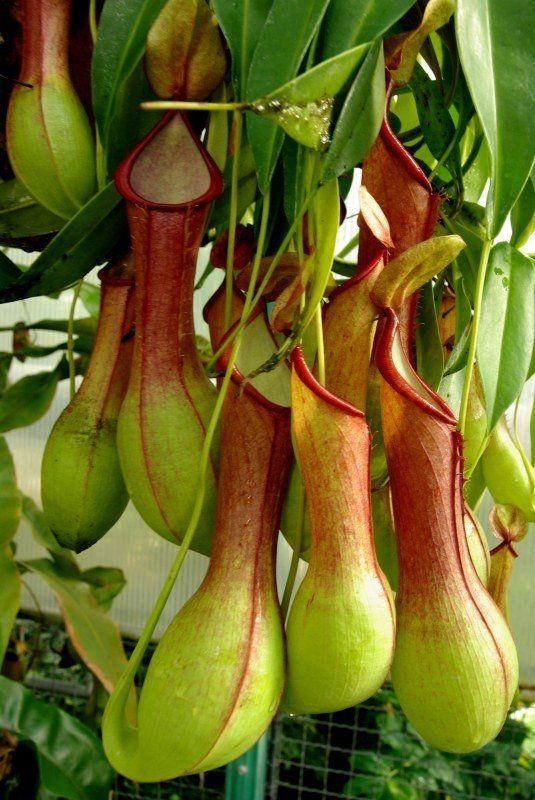 Planta Carnívora Nepenthes   Flora 1000 Flores | Ciekawe Kwiaty | Pinterest
