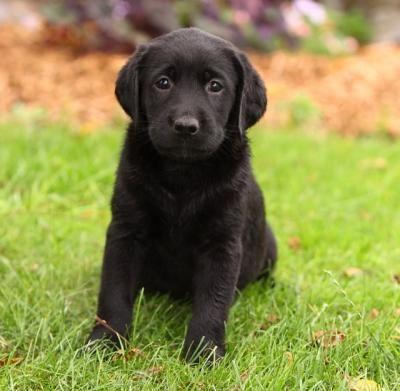 Cute Black Lab Puppies For Free Adoption 4c3f0fbd31ff1d27d2000e3f9
