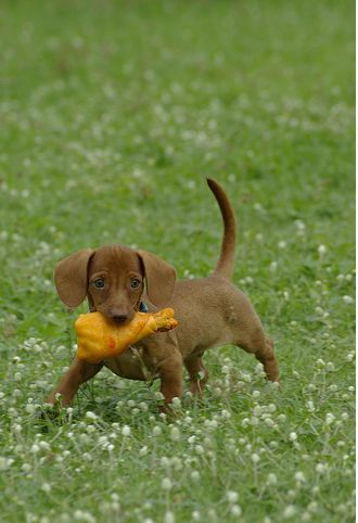 Light Brown Dachshund Puppy Dachshund Puppy Brown Dachshund