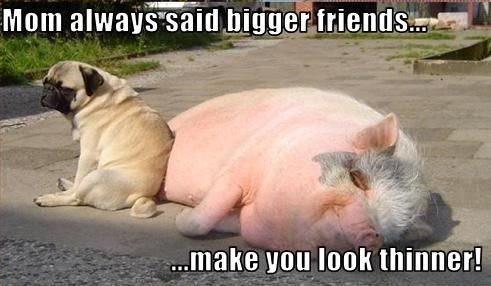 Funny Pug Dog Meme Pun Lol Not Exactly This Little Piggy But