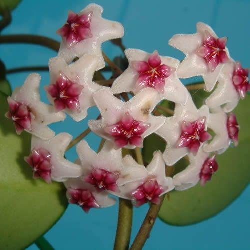 Hoya obovata X Hoya carnosa $$ SRQ 3031 Hoya obovata X Hoya carnosa - $14.00 : Hoya Plants and Cuttings