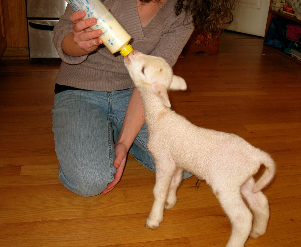 So sweet. Reminds me of the baby lamb I had when I was younger.