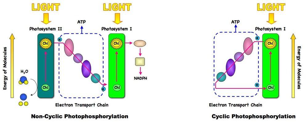82 photosynthesis bioninja ap biology ideas pinterest ap biology 82 photosynthesis bioninja ccuart Choice Image