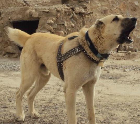 Afghan Kuchi Dog For Sale