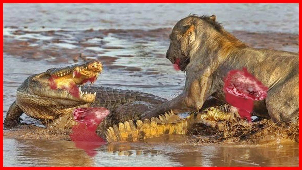 Crocodile Attack Videos Wild Animal Attacks videos Lion By