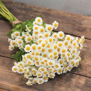 Magic Single Feverfew Flowers Perennials Feverfew Summer Flowers Garden