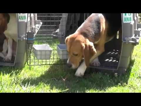 Beagles See Sun And Grass For The First Time After A Life In A