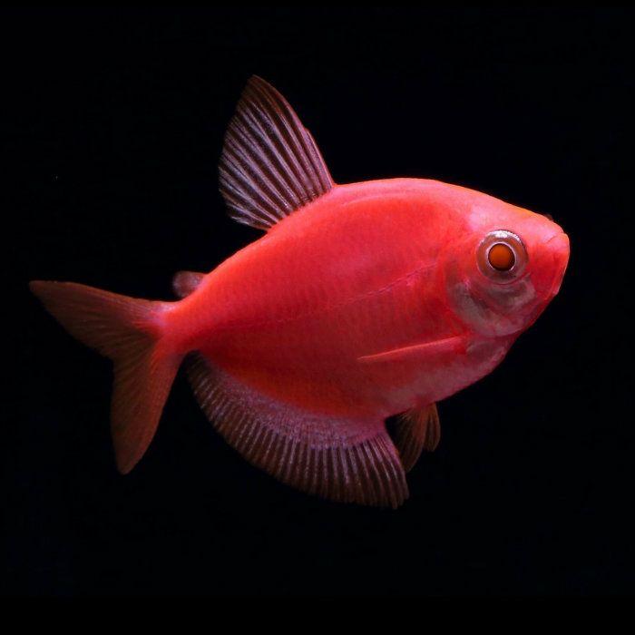 Starfire Red Glofish Tetra Gymnocorymbus Ternetzi Tetra Fish Glofish Glow Fish