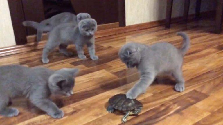 Russian Blue Kittens For Sale Craigslist
