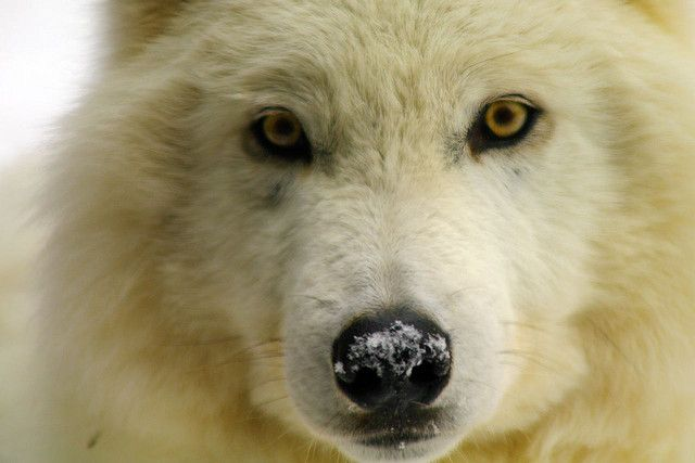 images of ely mn wolf center   3399807664_aaaf7f7045_z.jpg?zz=1