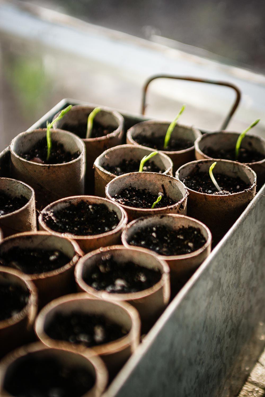Anzuchttöpfe - nachhaltig, kostenlos und kompostierbar #gartenrecycling