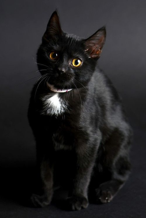 Black Kitty With White Patch Looks Just Like Our Kitty Love Cats Black Cat Cat Love