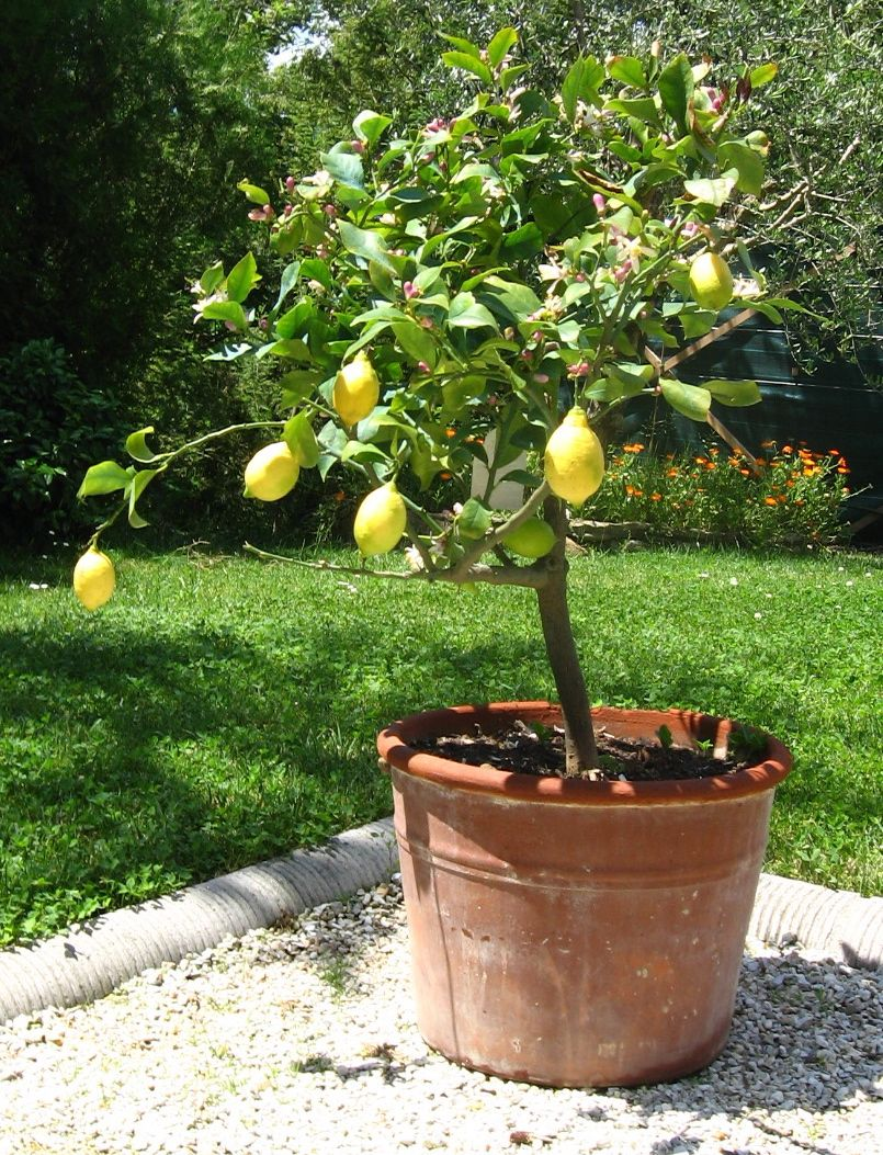 potted lemon tree  i wish i could get just one lemon from my tree  this could be the year