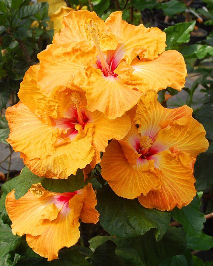 Hidden Valley Hibiscus Exotic Tropical Hibiscus Hybrids