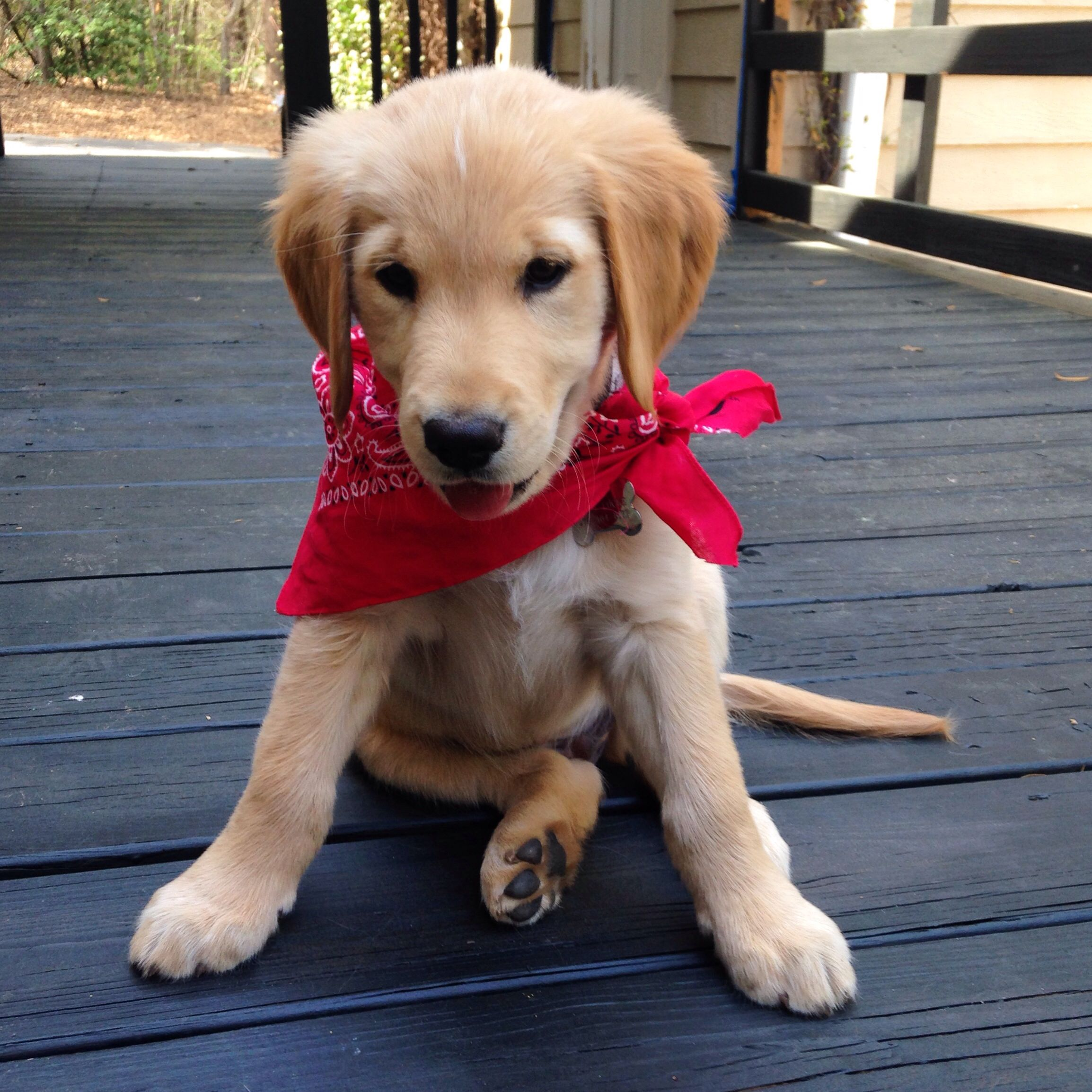 My Spoiled Rotten Golden Retriever Puppy Moose Puppies In Bandanas Make My Heart Melt