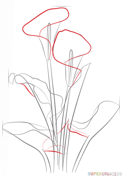How to draw a calla lily step by step Drawing tutorials for kids