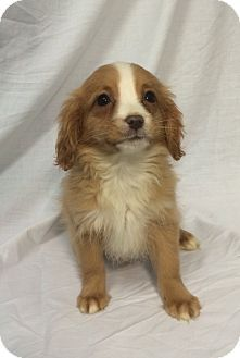 Media Pa Cavalier King Charles Spaniel Chihuahua Mix Meet