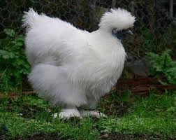 Resultado de imagen de razas de gallos más bonitos