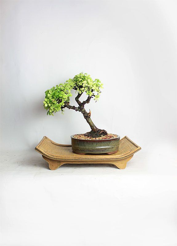 Catlin Elm Bonsai Tree Quot Spring Tropicals Collection By Livebonsaitree Quot Bonsai Tree Elm Bonsai Bonsai