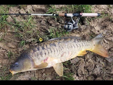 This is easily the biggest mirror carp that I have ever caught. To be honest, I am unsure whether a mirror carp is any different to a normal European carp. C...