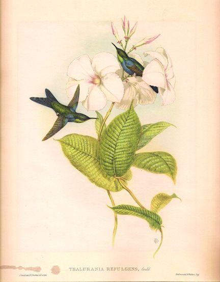 gould hummingbird print