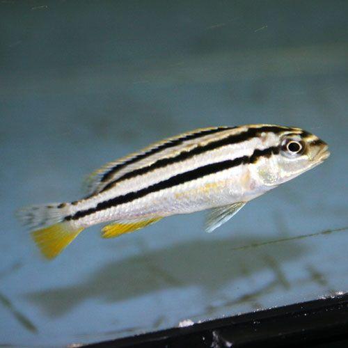 Melanochromis auratus - Small | Cichlids, Cichlid aquarium ...