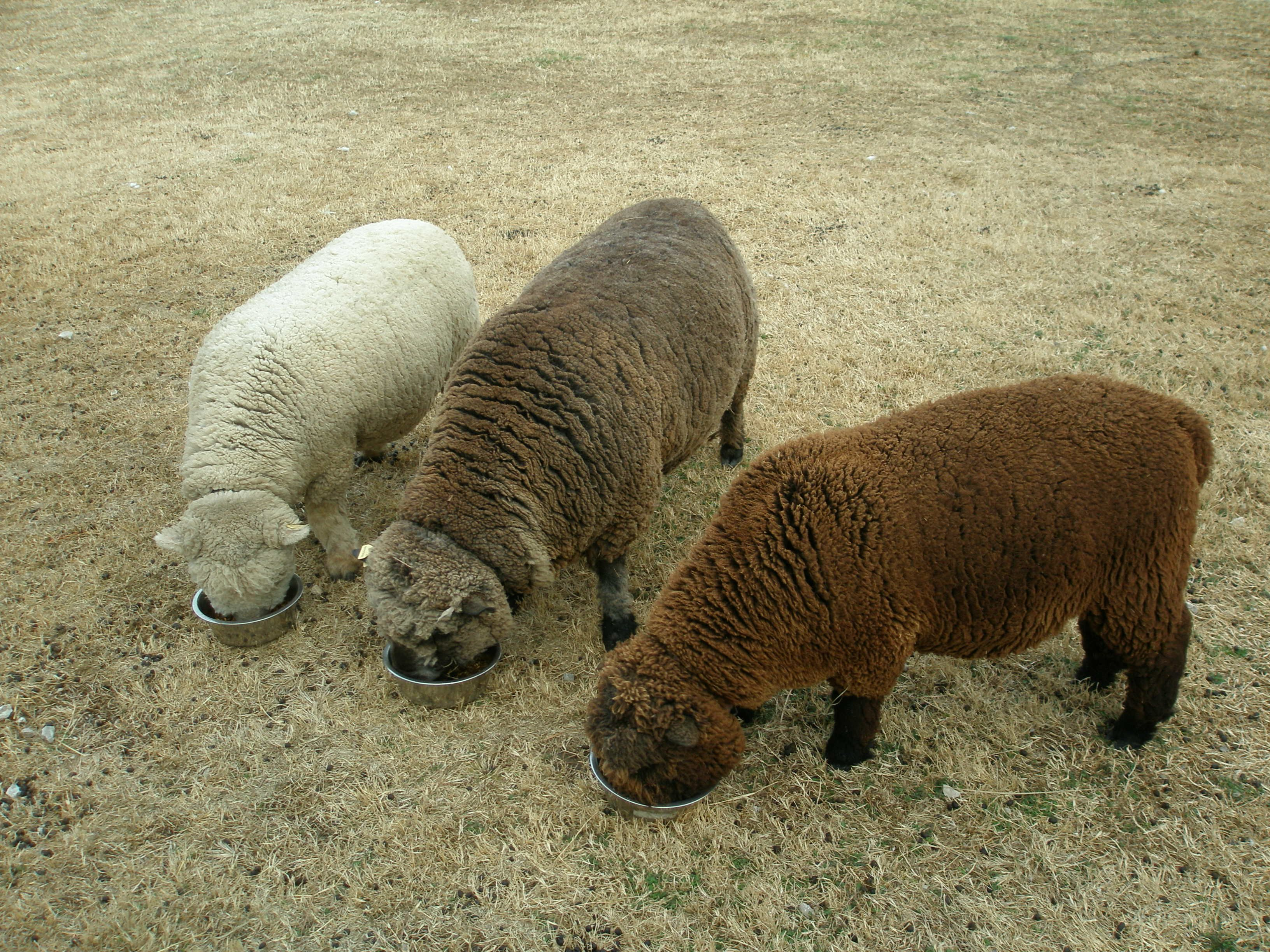 Babydoll Southdown Sheep | Sheep | Pinterest | Sheep ...