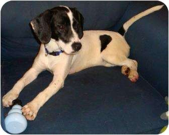Precious Pearl Adopted Puppy Angier Nc Beagle Pointer Mix