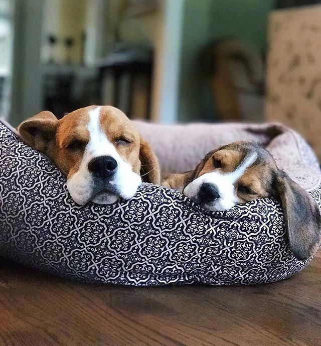 Napping Beagles Beagle Puppy Dog With His Older Playmate