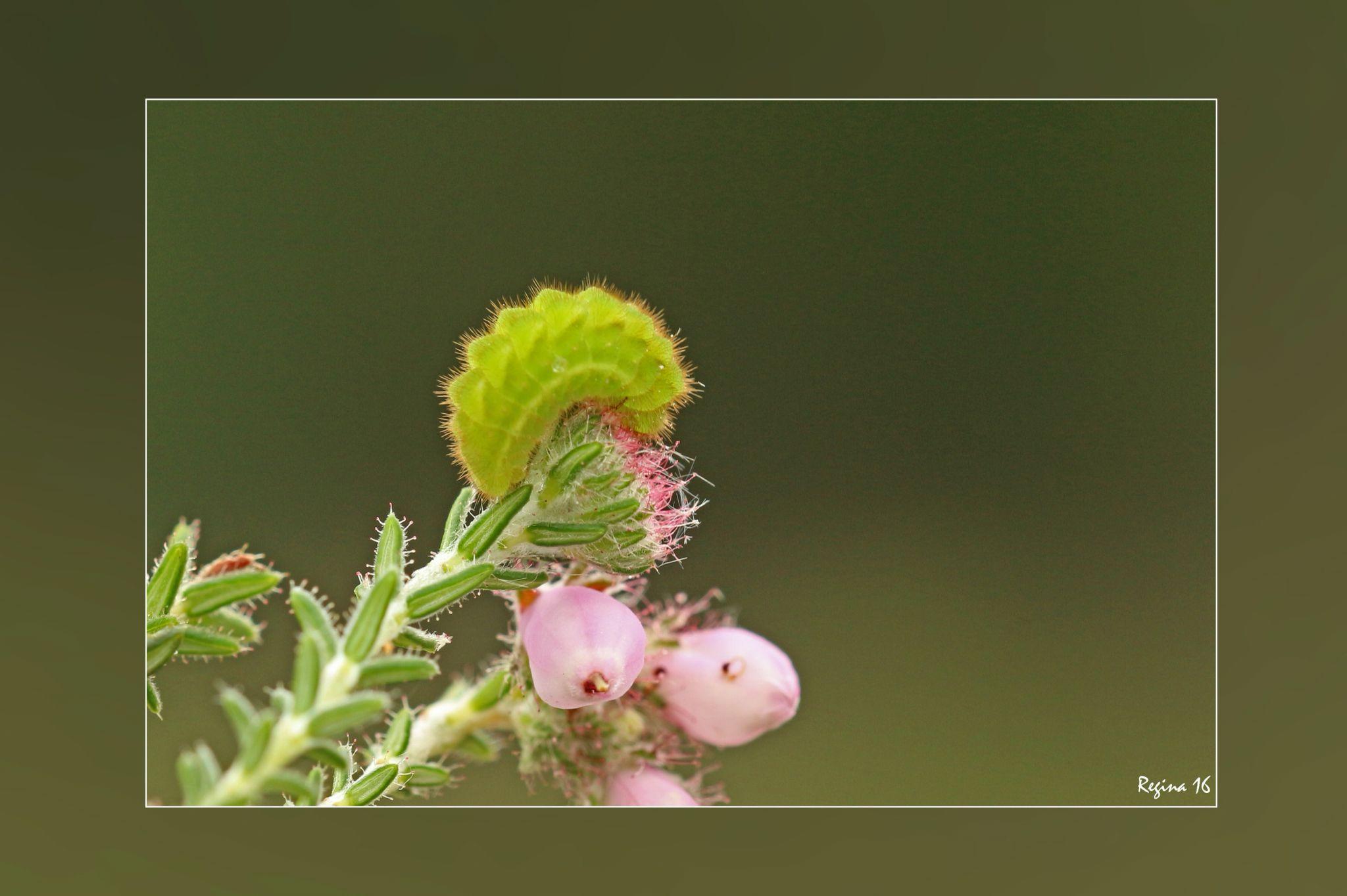 Rups van een groentje, gefotografeerd door Regina. De rupsen eten van de bloemknoppen van braam, van het jonge blad en de vruchten van sporkehout, van de knoppen en de bladeren van struikhei, dophei en bosbes.