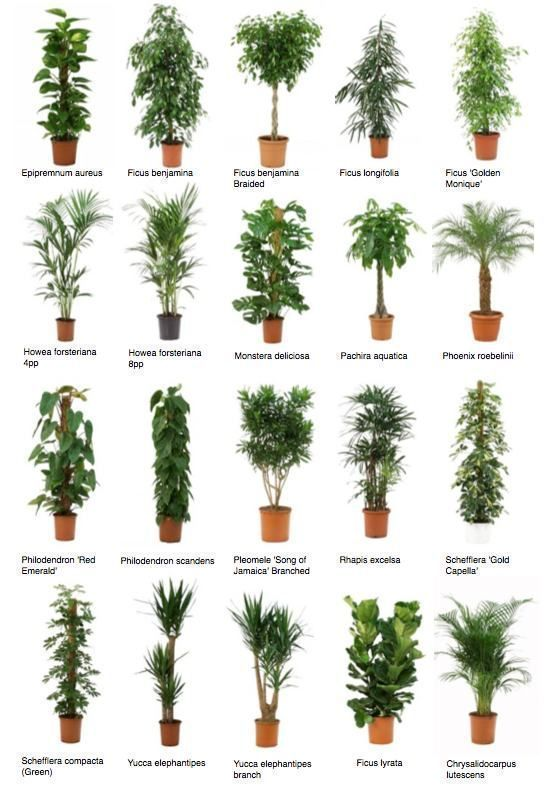 #für #Ihren #IndoorWald #Topfbäume #Wohnaccessoires