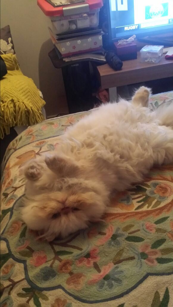 Nap time Ludovico #redpoint Himalayan Cat