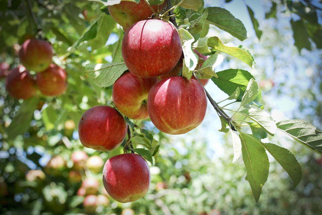 Arbor Day Farm Apple Orchard Fruit Garden Apple Garden Apple Picture