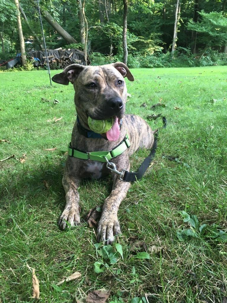 Adopt Bruce On Pet Adoption Whippet Pets