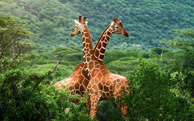 O O Nature Animals Animals Wild Giraffe