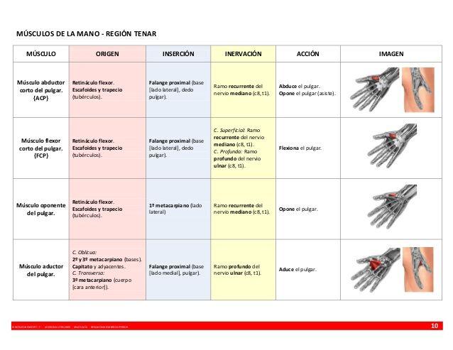Anatomía resumen músculos - miembro superior | Cuerpo humano ...