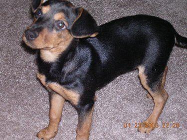 Meagle Meagles Beagle Min Pin Hybrid Doberman Mix Dog Breeds
