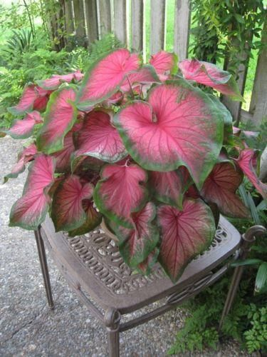 Caladium Florida Sweetheart (6 Bulbs)Thrives in Heat and Humidity, Elephant Ears #elephantearsandtropicals